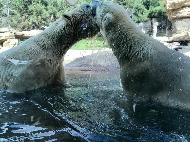 San Diego Zoo, San Diego Zoo polar bears, San Diego California