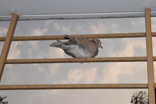 Eurasian banded dove