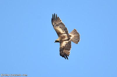 Vista superior de l'àguila calçada