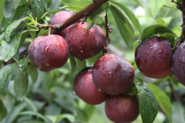 Moc Chau plateau on the season of plum 2