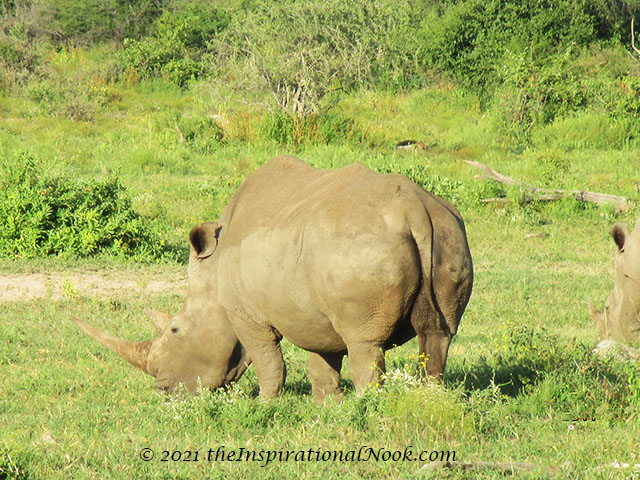 Rhino, safari, Mosetlha Bush Camp, Madikwe Game Reserve, South Africa