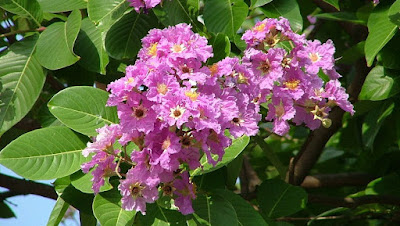 Impessive Health Benefits of Banaba Tea