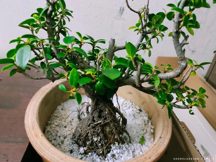 Pokok Ara Sebagai Pokok Bonsai
