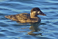Surf Scoter, female – Bolsa Chica Ecological Reserve, Huntington Beach, CA – Dec. 1, 2006 – Alan D. Wilson