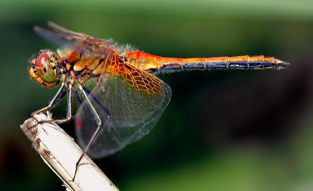Sympetrum flaveolum dragonfly
