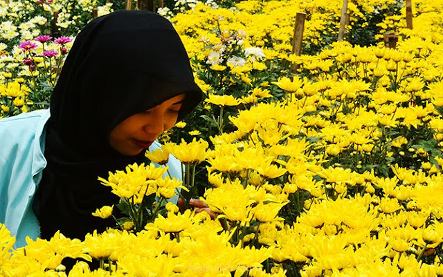 Berfoto di Kebun Bunga Krisan di Bandungan