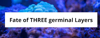 Write a Note on fate of three germinal layers.