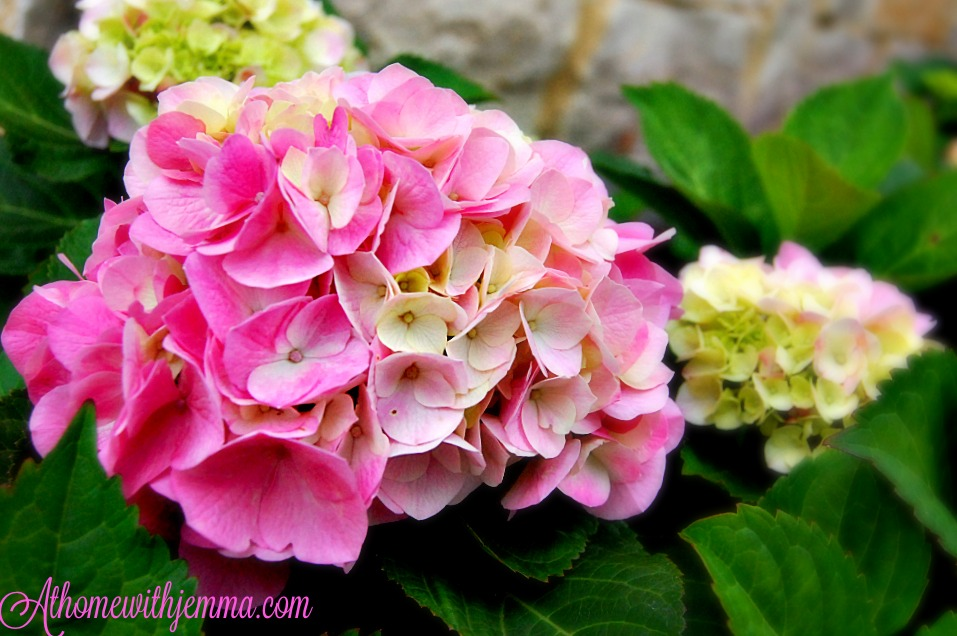 blooming hydrangeas, pink, big beautiful blooms on a sunny day