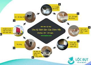 Chu kỳ sinh sản của chim yến trong 1 mùa - Yến sào Lộc Bụt