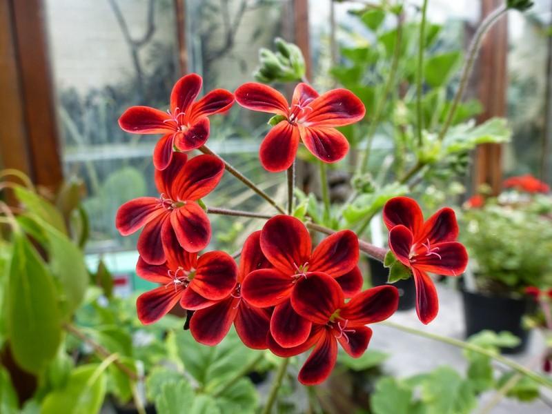 flores rojas y negras de pelargonium