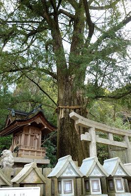 神木の かやの木