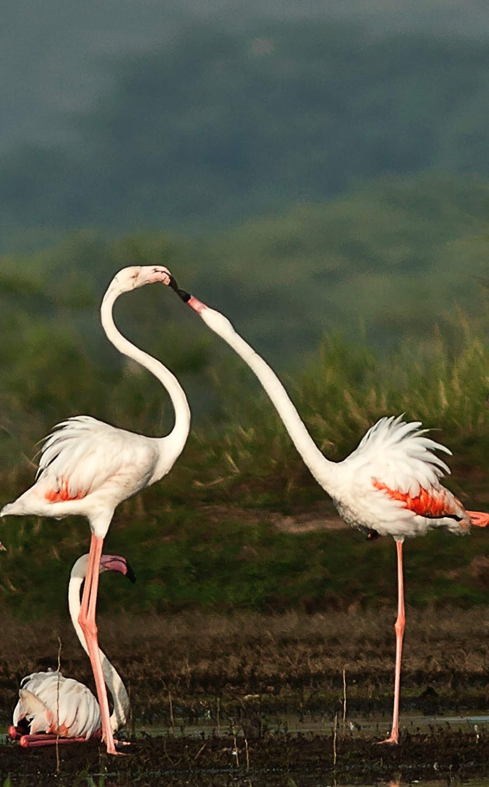 Flamingos in love.