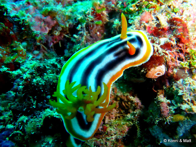 Nudibranch, sulawesi, celebes sea, tropical sea, scuba diving,