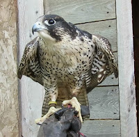 Peregrine falcon having a snack Island Falconry Services, PEI, Canada