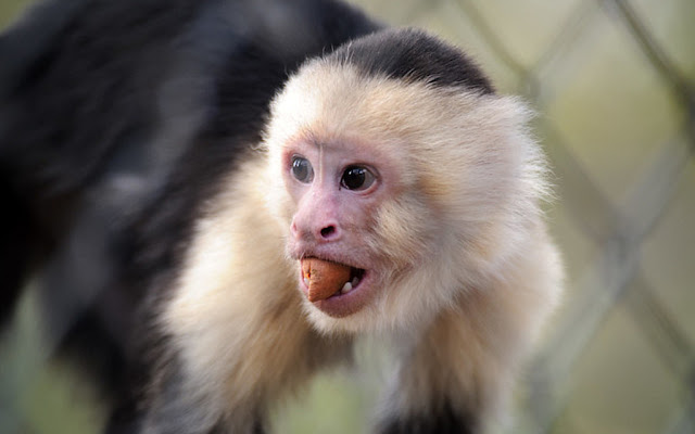 Capuchin monkeys have been using stone tools for around 3,000 years