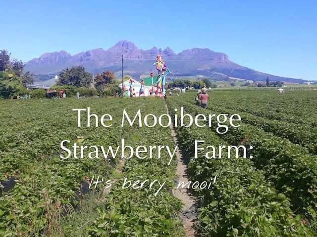 The Mooiberge Strawberry Farm: It's berry mooi!