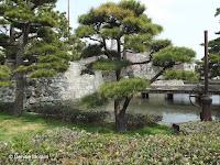 Cloud-pruned pines near Tokushima Castle, Shikoku, Japan