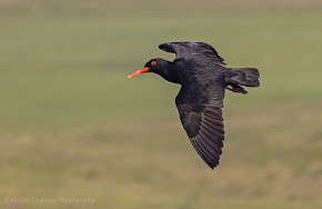 African Oystercatcher Canon EOS R6 / RF 600mm f/11 IS STM Lens : ISO 640 / 1/2500s