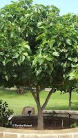 Kou tree, Diamond Head State Monument trail - Oahu, HI