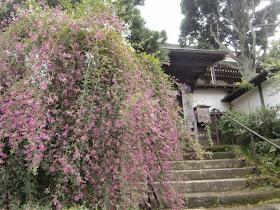 建長寺妙高院のハギ