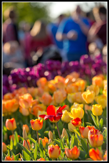 Cincinnati Zoo; Flower; Zoo Blooms; Tulips