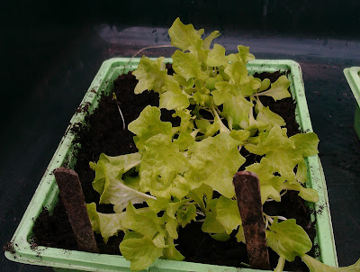 Lettuce seedlings Green Fingered Blog