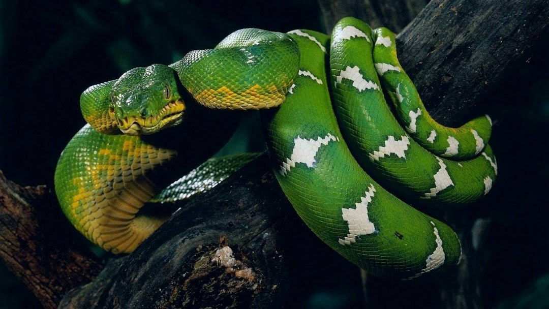 Snake on Tree hd wallpaper