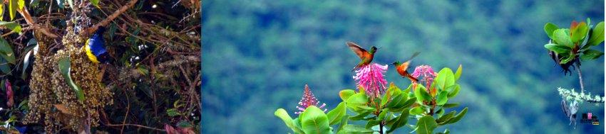 La lista di uccelli osservati a Wayqecha supera i 400, compresi i colibrì