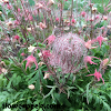 How to grow and care for prairie smoke plant
