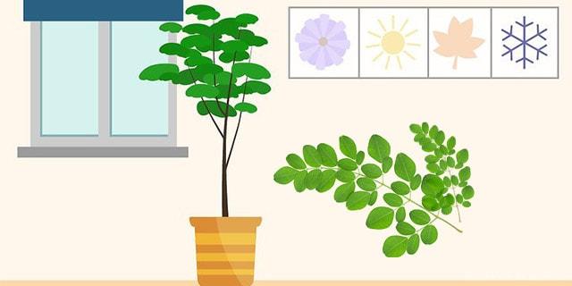evde moringa ağacı yetiştiriciliği - www.kahvekafe.net