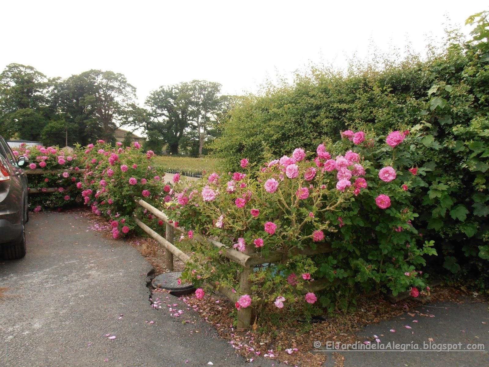 El jard n de la alegr a llegaron los rosales que ped for Jardin los rosales