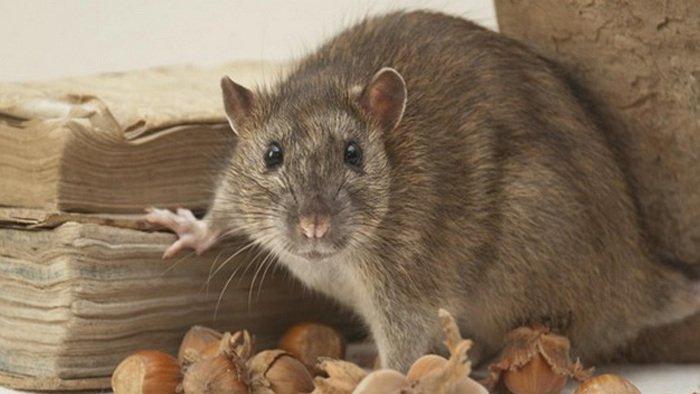 Tikus Got, Tikus Besar, hewan yang bisa mendengar bunyi ultrasonik, hewan yang bisa mendengar bunyi infrasonik, hewan yang bisa menstruasi, hewan yang bisa mendengar bunyi infrasonik dan ultrasonik, hewan yang bisa menyembuhkan penyakit,tikus got terbesar, tikus bambu sumatera, tikus raksasa sumatera, tikus terbesar di indonesia, tikus bambu indonesia, tikus bambu berastagi, tikus raksasa makan 2 bayi, makanan tikus bambu