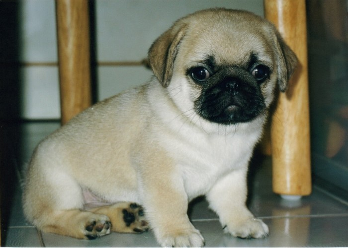 Cute Cubs Wallpaper Funny Wallpapers Hd Wallpapers Cute Pug Puppies