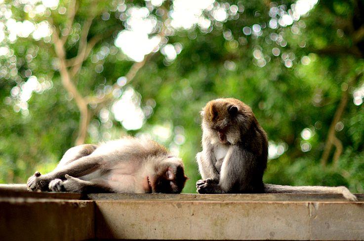 Monkey forrest Bali, Indonesia
