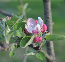 Pink and white apple blossoms