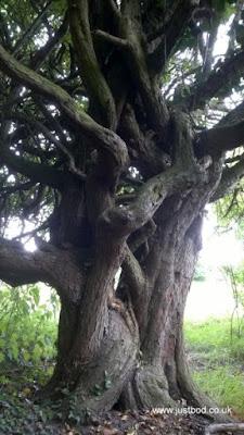 'Tanglewood' - hawthorn, Hob Moor, York