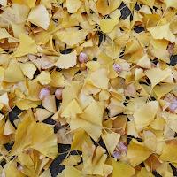 寝屋川公園 銀杏(イチョウ)の落ち葉とギンナン