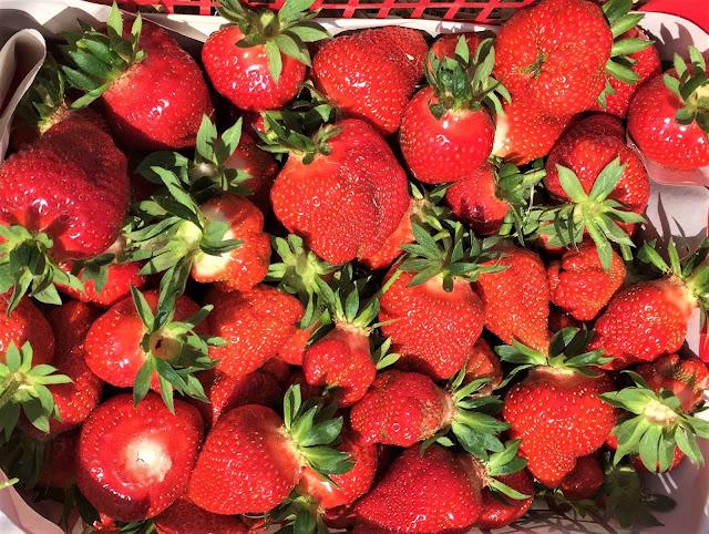 geerntete Erdbeeren auf dem Feld beim Bauern