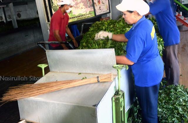 Para petugas pabrik teh sedang mengumpulkan daun teh
