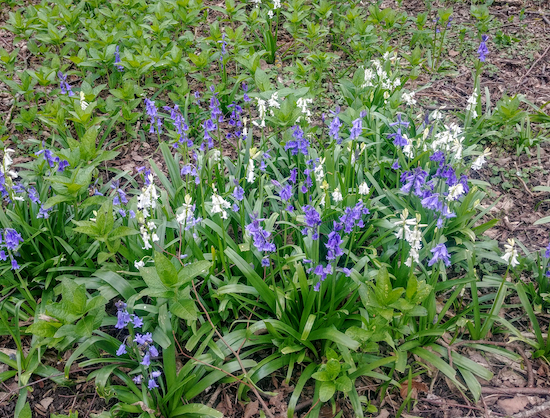 Rare white bluebells N of point 3 on the route