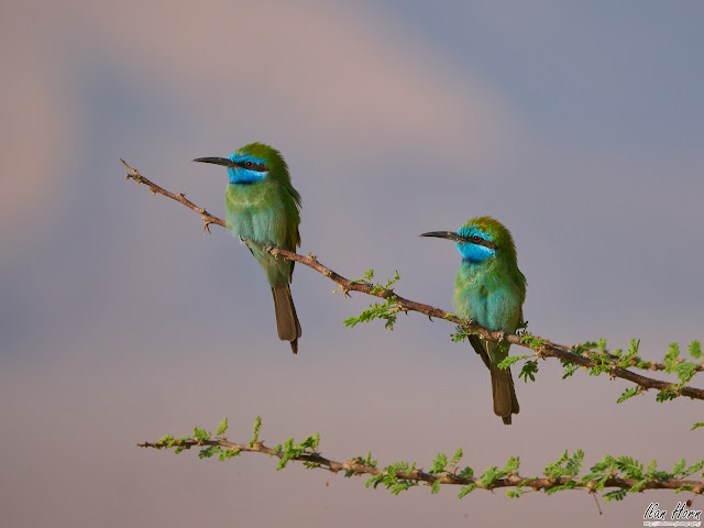 Green Bee-Eater Couple