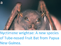 http://sciencythoughts.blogspot.co.uk/2017/08/nyctimene-wrightae-new-species-of-tube.html