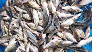 নওগাঁয় অবাধে চলছে ডিমওয়ালা মা মাছ শিকার' কর্তৃপক্ষের নজর নেই