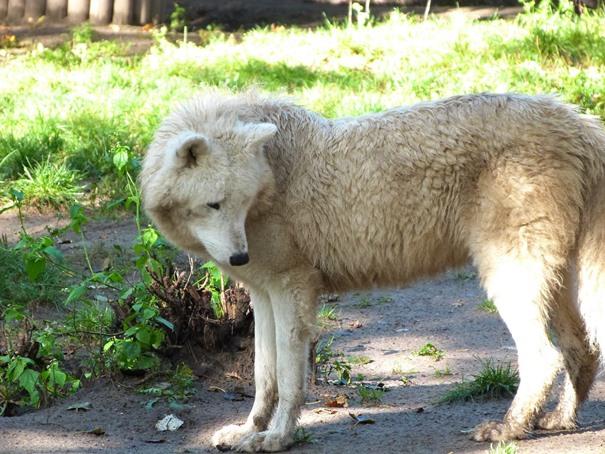 weisser-wolf