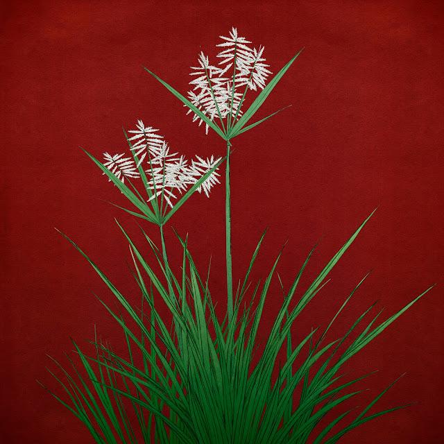 planra, chufa, flor