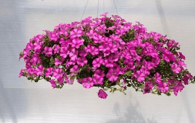 Tanaman Hias Gantung Bunga Petunia