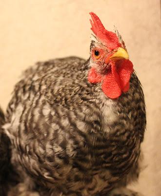 Cochin Pekin mottled cockerel rooster