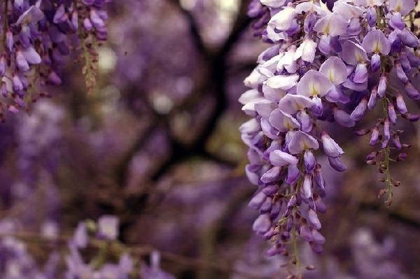 Bunga wisteria