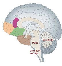Tüm beyin Ve Bölümleri