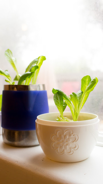 how to regrow lettuce from scraps- fun kids food science project